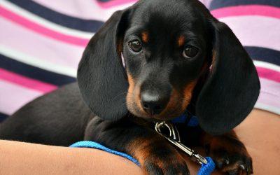 Een puppy of hond aanschaffen