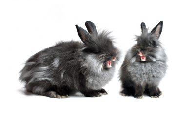 Gebitsproblemen signaleren bij konijnen of knaagdieren