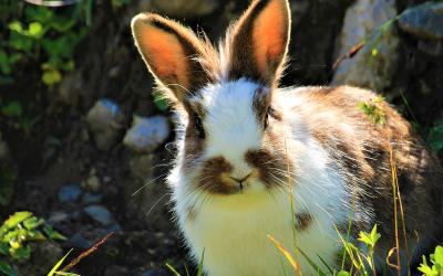 Myiasis (madenziekte) bij konijn of cavia