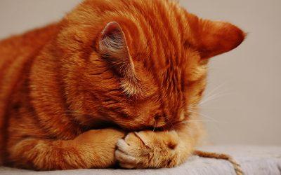 Gebitsproblemen bij je kat herkennen en voorkomen