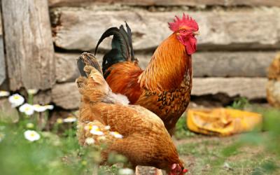 Kippen als huisdier: dit is wat je moet weten