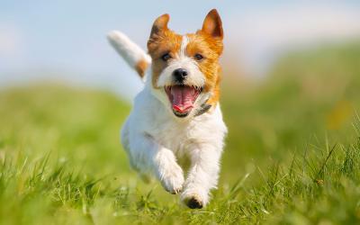 Pas op met grasaren bij de hond!